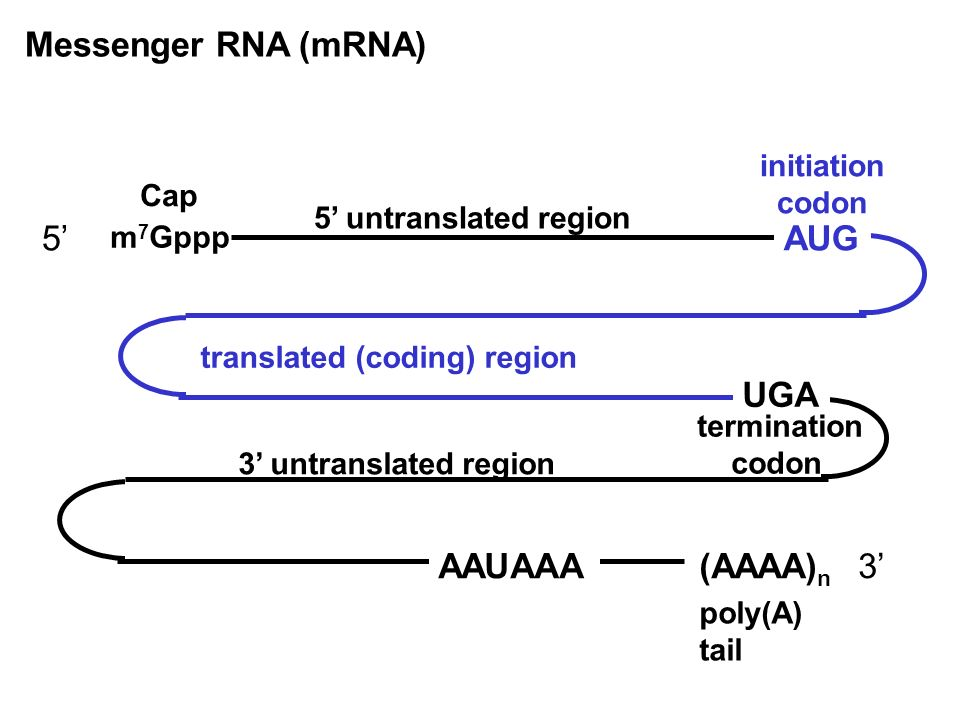 Messenger RNA (mRNA) m 7 Gppp Cap 5 5 untranslated region AUG initiation codon translated (coding) region (AAAA) n poly(A) tail 3 untranslated region