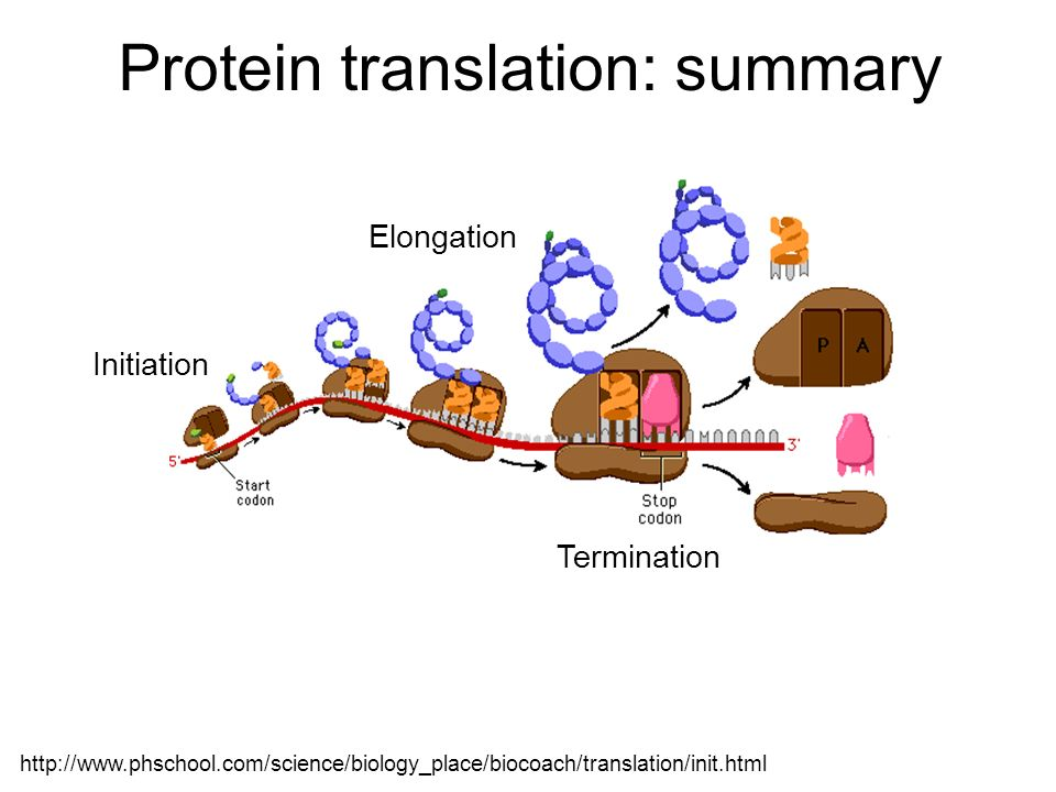 Protein translation: summary Initiation Elongation Termination http://www.phschool.com/science/biology_place/biocoach/translation/init.html