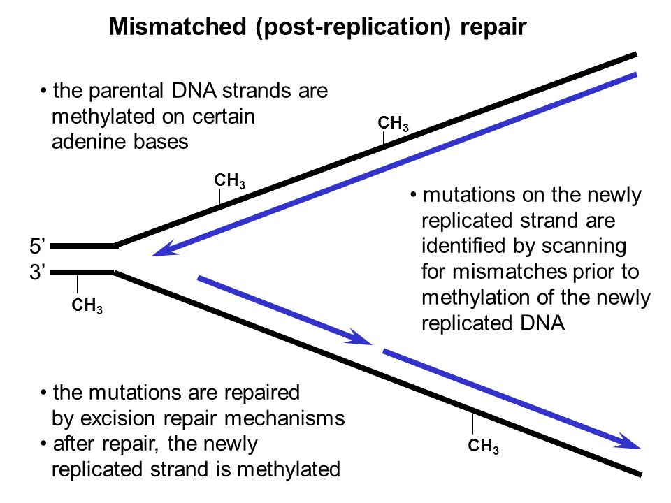 Mismatched (post-replication) repair 5353 CH 3 the parental DNA strands are methylated on certain adenine bases mutations on the newly replicated stra