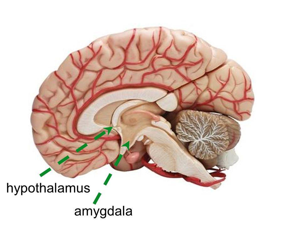 amygdala hypothalamus