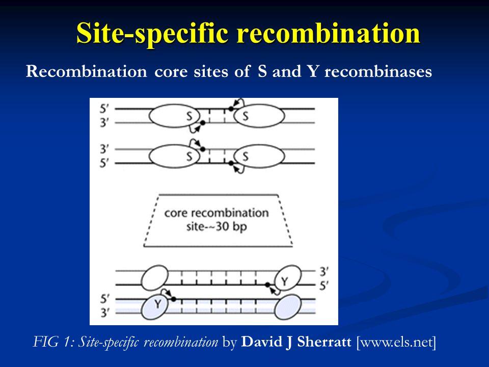 Recombination core sites of S and Y recombinases Site-specific recombination FIG 1: Site-specific recombination by David J Sherratt [www.els.net]