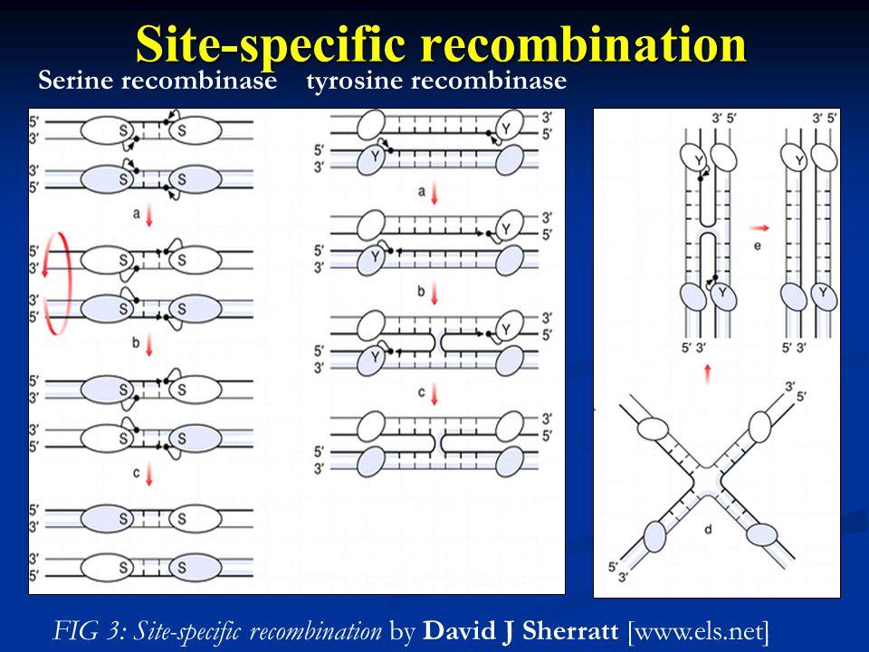 Serine recombinasetyrosine recombinase Site-specific recombination FIG 3: Site-specific recombination by David J Sherratt [www.els.net]