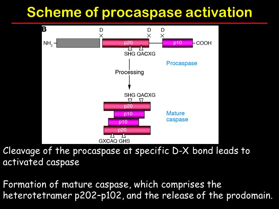 Scheme of procaspase activation Cleavage of the procaspase at specific D-X bond leads to activated caspase Formation of mature caspase, which comprises the heterotetramer p202–p102, and the release of the prodomain.