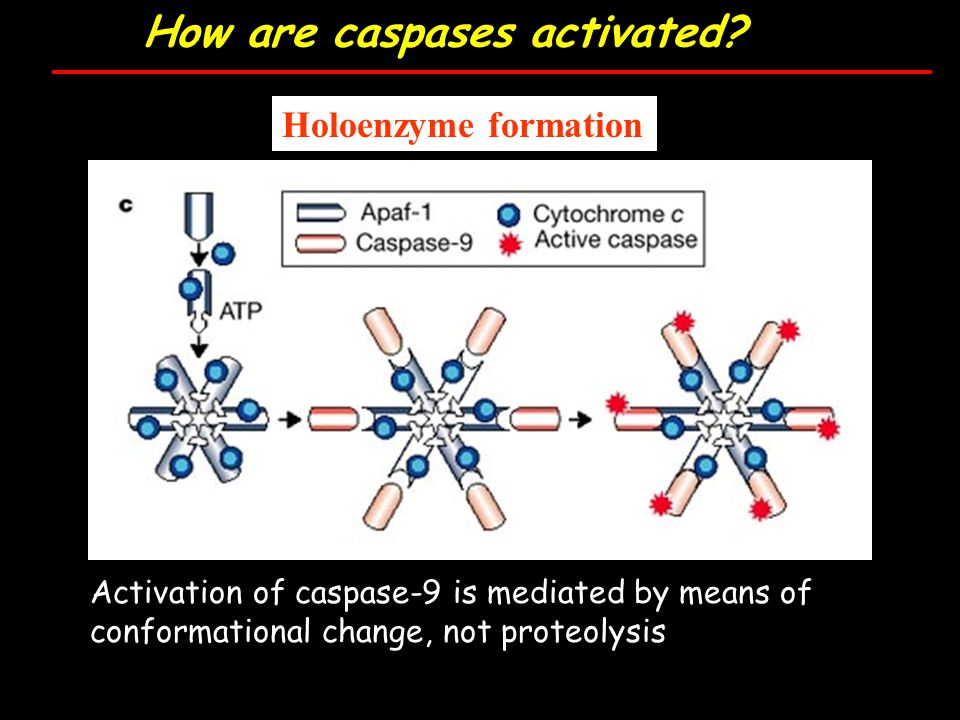 How are caspases activated.