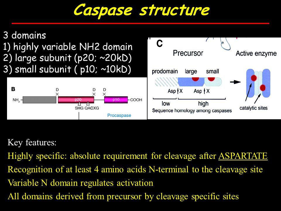 Caspase structure 3 domains 1) highly variable NH2 domain 2) large subunit (p20; ~20kD) 3) small subunit ( p10; ~10kD) Key features: Highly specific: absolute requirement for cleavage after ASPARTATE Recognition of at least 4 amino acids N-terminal to the cleavage site Variable N domain regulates activation All domains derived from precursor by cleavage specific sites