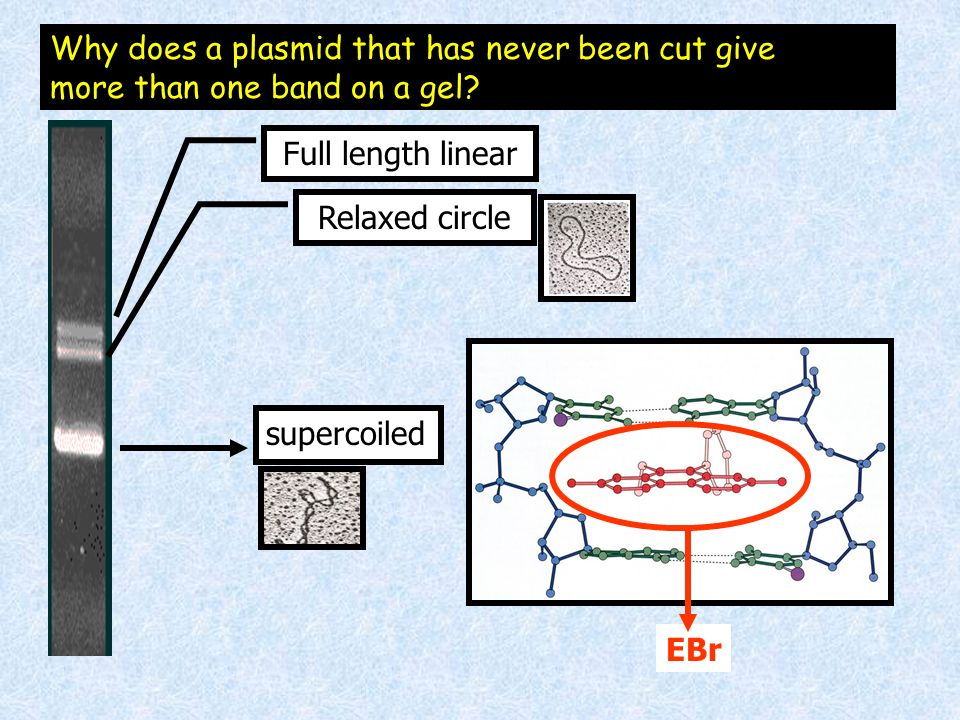 supercoiled Relaxed circle Full length linear Why does a plasmid that has never been cut give more than one band on a gel? EBr