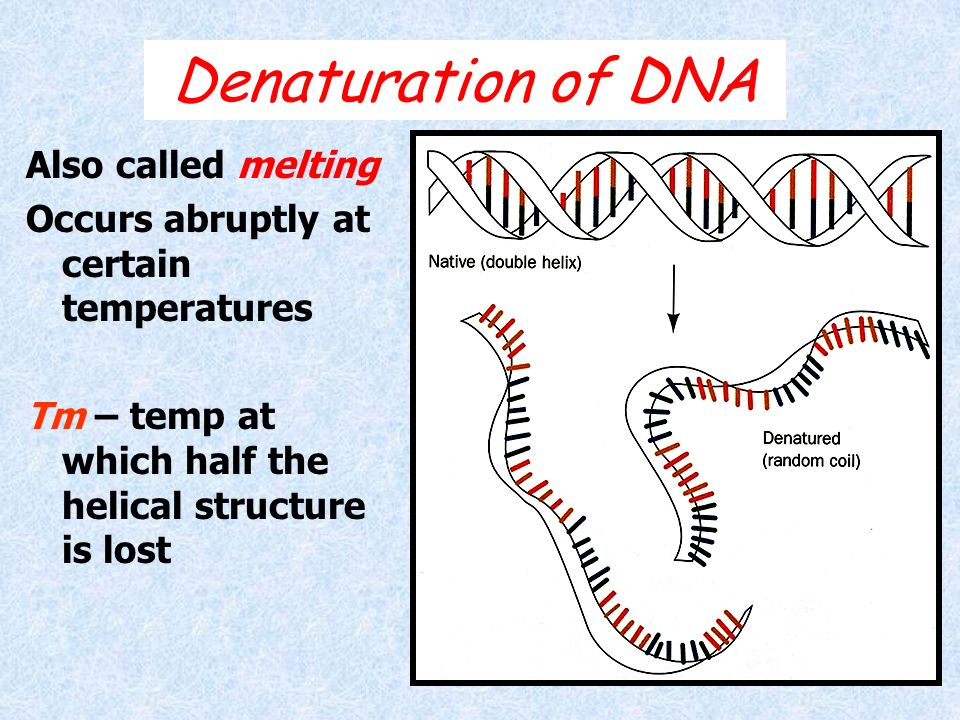 Denaturation of DNA Also called melting Occurs abruptly at certain temperatures Tm – temp at which half the helical structure is lost