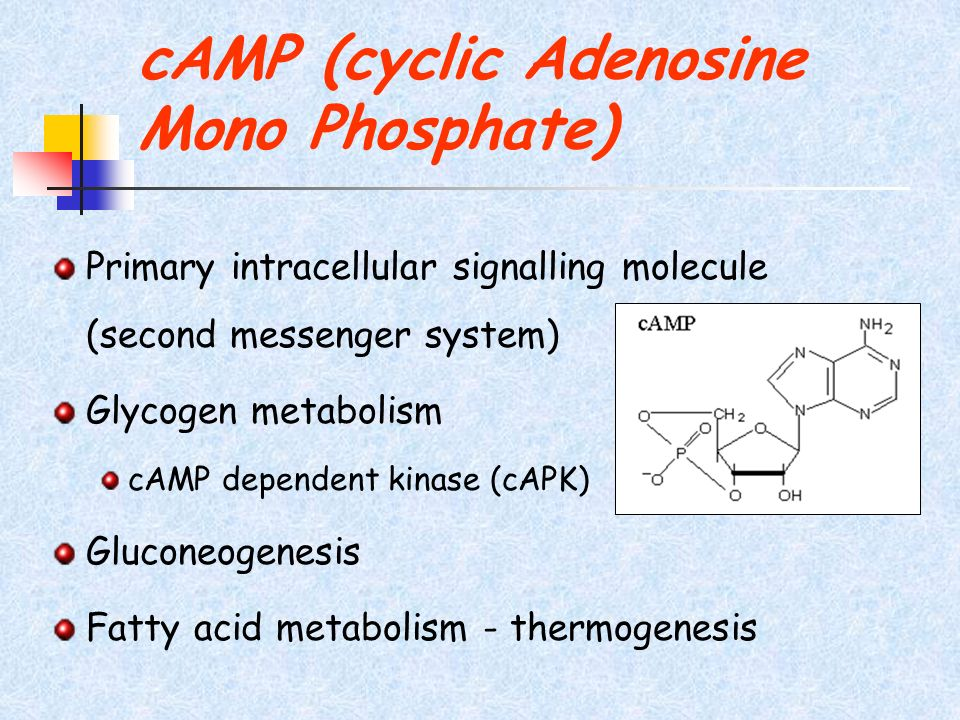 cAMP (cyclic Adenosine Mono Phosphate) Primary intracellular signalling molecule (second messenger system) Glycogen metabolism cAMP dependent kinase (