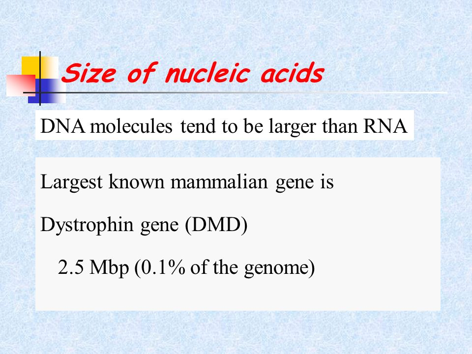 Size of nucleic acids Largest known mammalian gene is Dystrophin gene (DMD) 2.5 Mbp (0.1% of the genome) DNA molecules tend to be larger than RNA