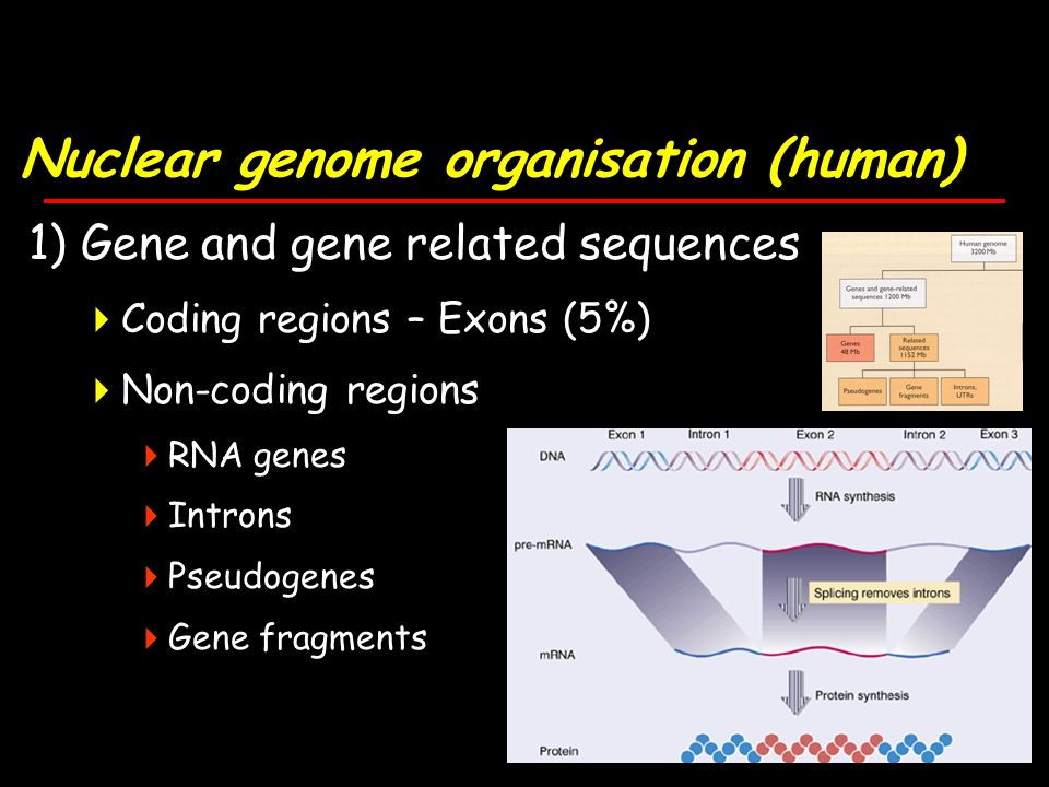 Nuclear genome organisation (human) 1) Gene and gene related sequences Coding regions – Exons (5%) Non-coding regions RNA genes Introns Pseudogenes Gene fragments