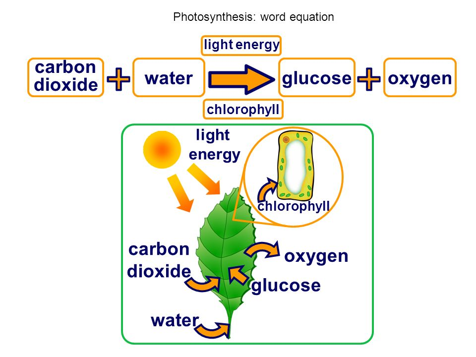 Photosynthesis: word equation carbon dioxide water oxygen light energy chlorophyll glucose light energy chlorophyll carbon dioxide wateroxygen