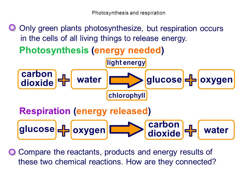 Photosynthesis and respiration Only green plants photosynthesize, glucose light energy chlorophyll carbon dioxide wateroxygen Compare the reactants, p