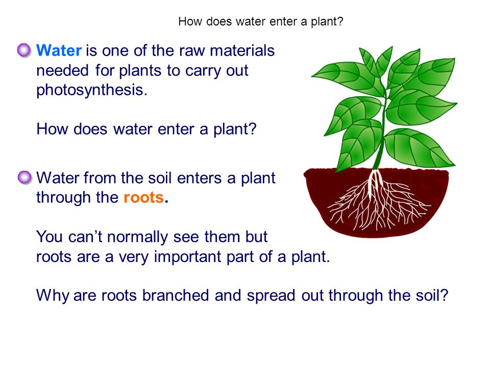 How does water enter a plant? Water is one of the raw materials needed for plants to carry out photosynthesis. How does water enter a plant? Water fro