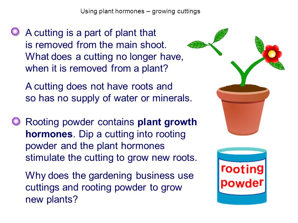 Using plant hormones – growing cuttings A cutting is a part of plant that is removed from the main shoot. What does a cutting no longer have, when it