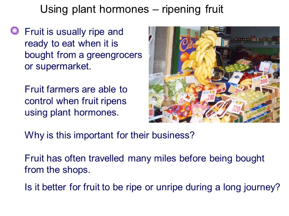 Using plant hormones – ripening fruit Fruit is usually ripe and ready to eat when it is bought from a greengrocers or supermarket. Fruit farmers are a