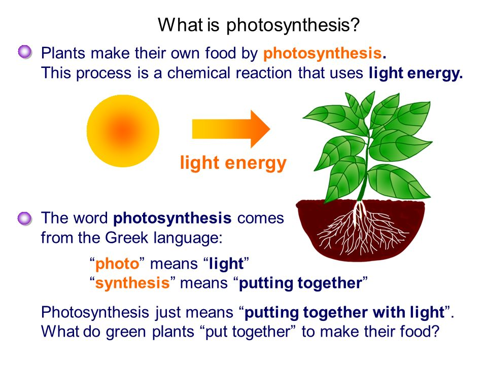 Plants make their own food by photosynthesis. This process is a chemical reaction that uses light energy. What is photosynthesis? light energy The wor