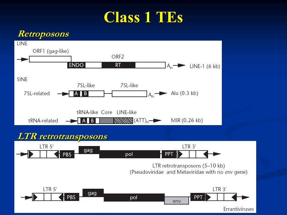 Class 1 TEs LTR retrotransposons Retroposons