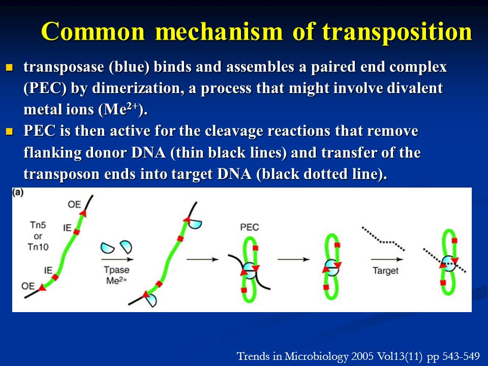 Common mechanism of transposition transposase (blue) binds and assembles a paired end complex (PEC) by dimerization, a process that might involve diva