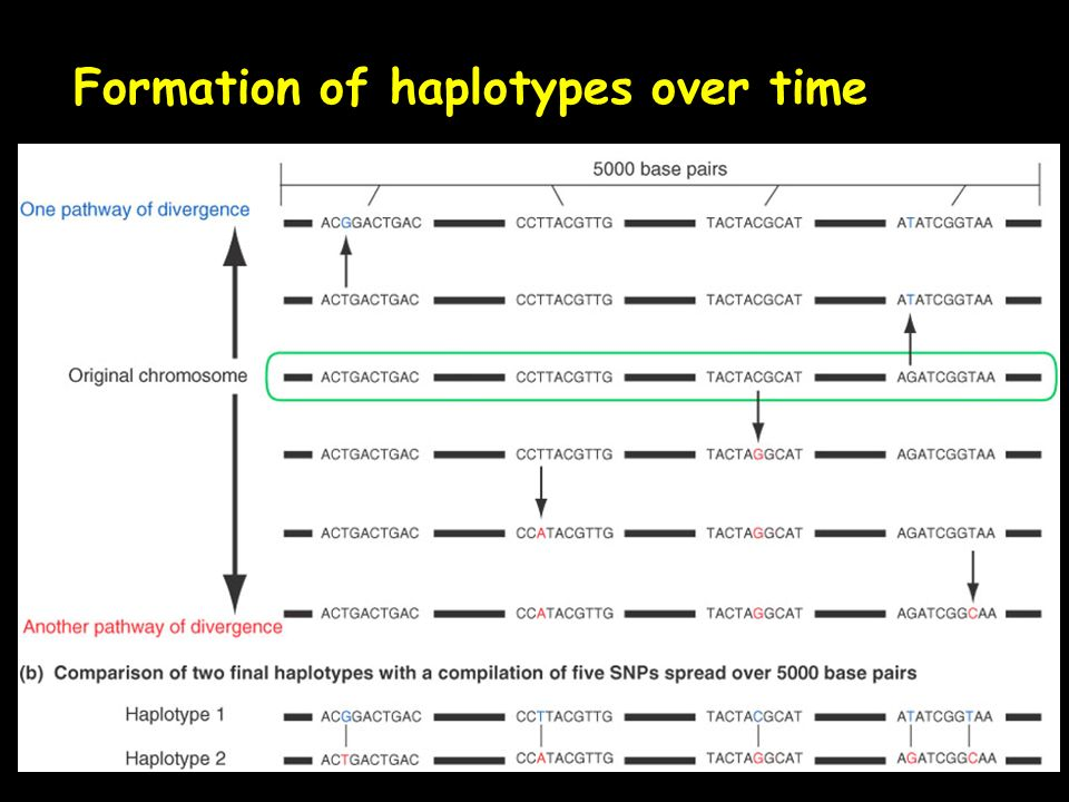 Formation of haplotypes over time