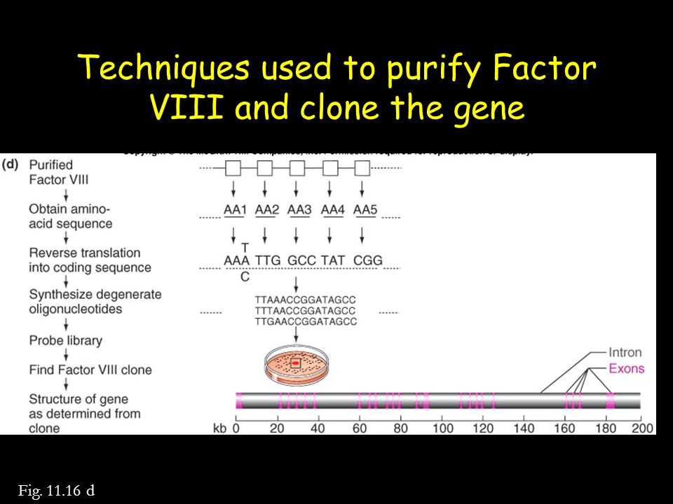 Techniques used to purify Factor VIII and clone the gene Fig. 11.16 d