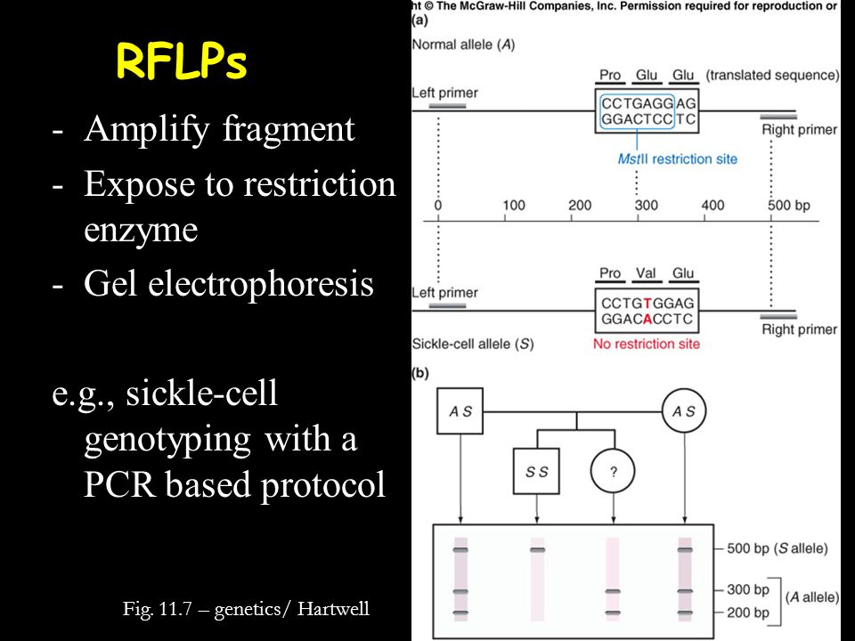 RFLPs Fig. 11.7 – genetics/ Hartwell -Amplify fragment -Expose to restriction enzyme -Gel electrophoresis e.g., sickle-cell genotyping with a PCR base