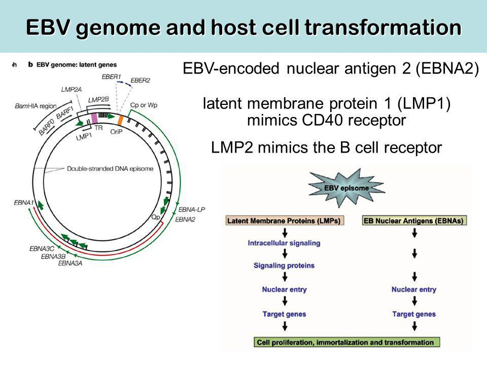 EBV genome and host cell transformation EBV-encoded nuclear antigen 2 (EBNA2) latent membrane protein 1 (LMP1) mimics CD40 receptor LMP2 mimics the B cell receptor