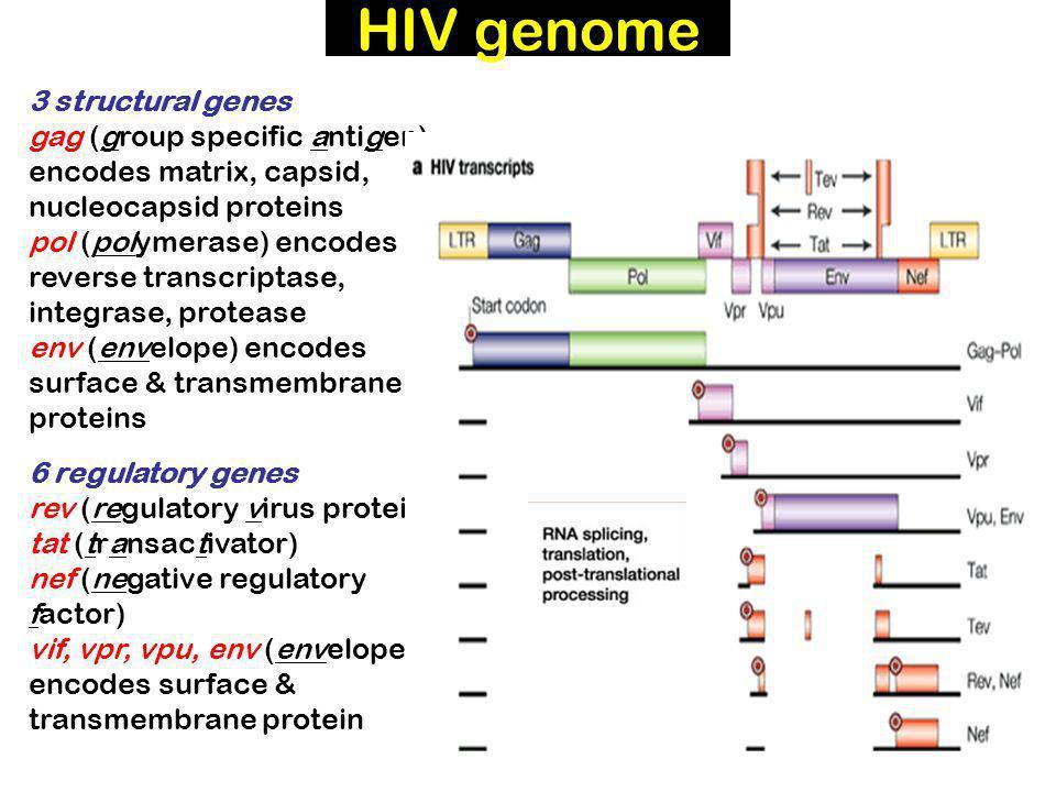 HIV genome 3 structural genes gag (group specific antigen) encodes matrix, capsid, nucleocapsid proteins pol (polymerase) encodes reverse transcriptase, integrase, protease env (envelope) encodes surface & transmembrane proteins 6 regulatory genes rev (regulatory virus protein) tat (transactivator) nef (negative regulatory factor) vif, vpr, vpu, env (envelope) encodes surface & transmembrane protein
