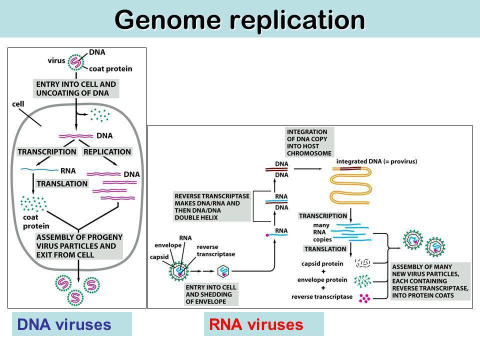 Genome replication DNA virusesRNA viruses