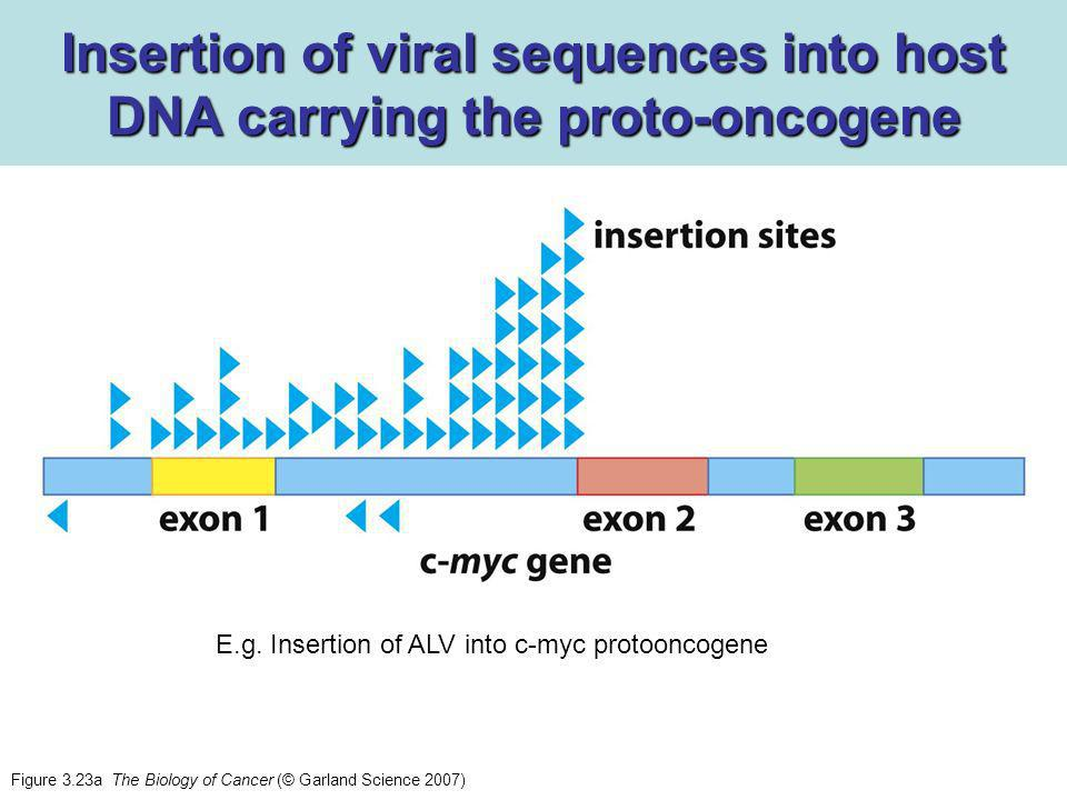 Figure 3.23a The Biology of Cancer (© Garland Science 2007) Insertion of viral sequences into host DNA carrying the proto-oncogene E.g.