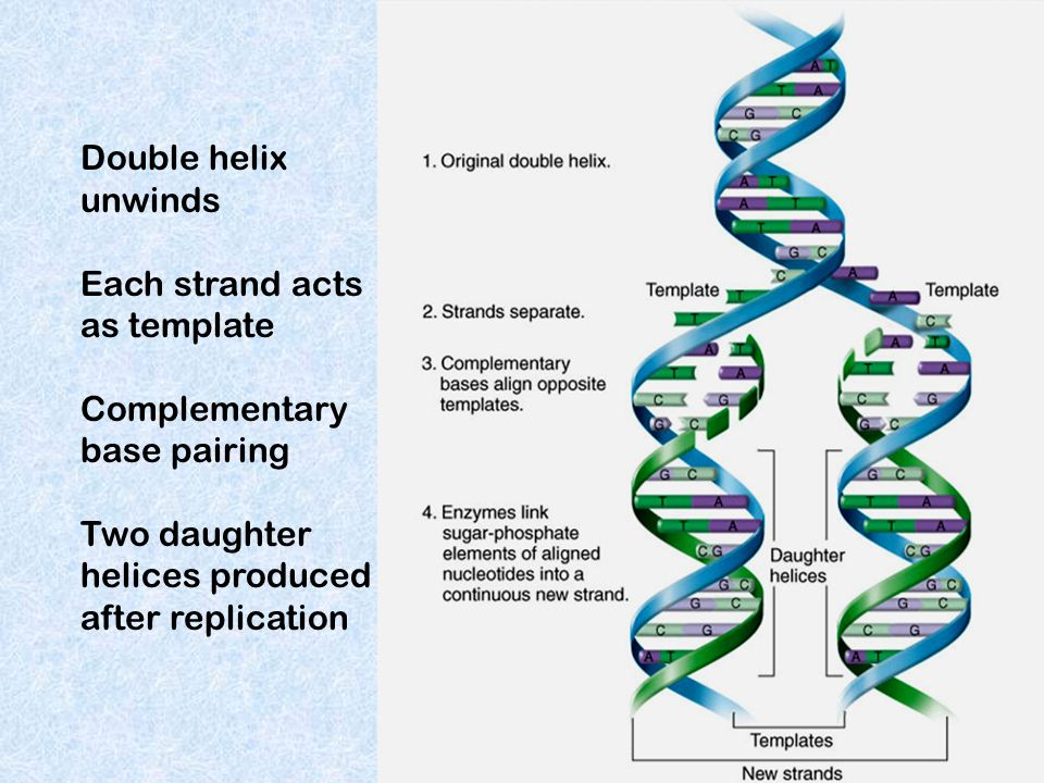 Double helix unwinds Each strand acts as template Complementary base pairing Two daughter helices produced after replication