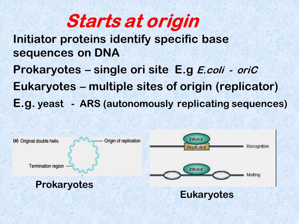 Starts at origin Initiator proteins identify specific base sequences on DNA Prokaryotes – single ori site E.g E.coli - oriC Eukaryotes – multiple site