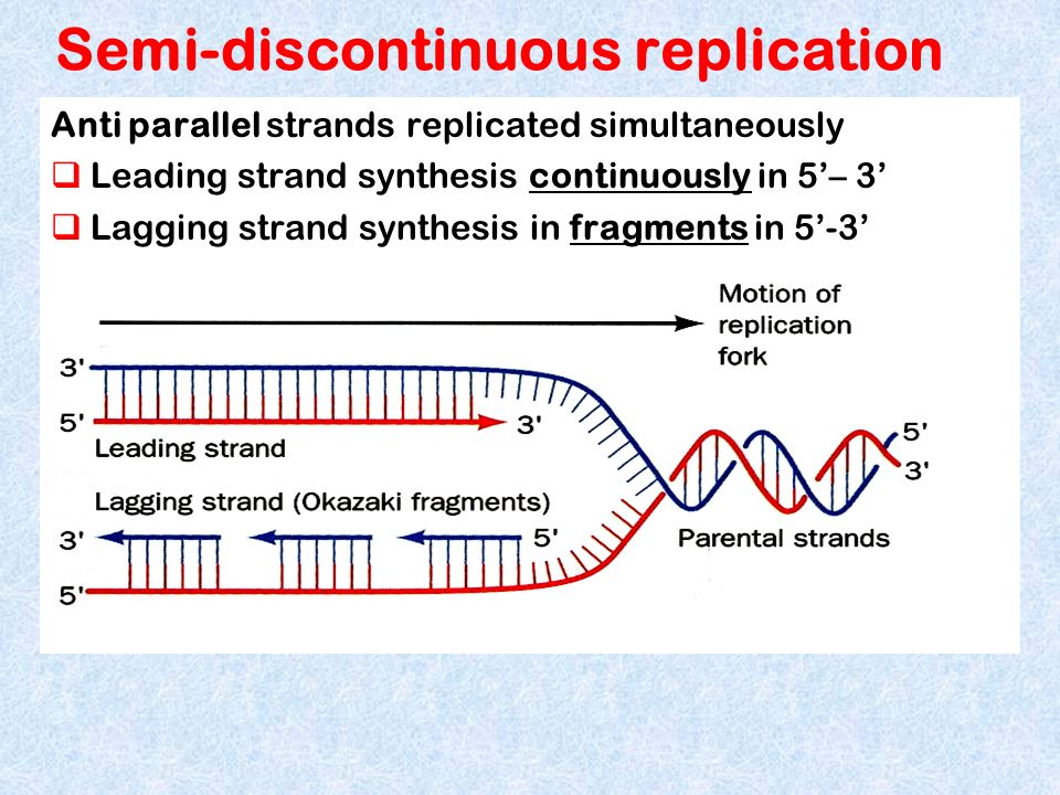 Semi-discontinuous replication Anti parallel strands replicated simultaneously Leading strand synthesis continuously in 5– 3 Lagging strand synthesis
