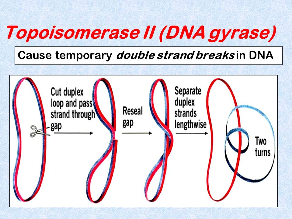Topoisomerase II (DNA gyrase) Cause temporary double strand breaks in DNA