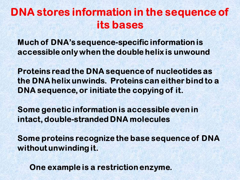 Much of DNAs sequence-specific information is accessible only when the double helix is unwound Proteins read the DNA sequence of nucleotides as the DN