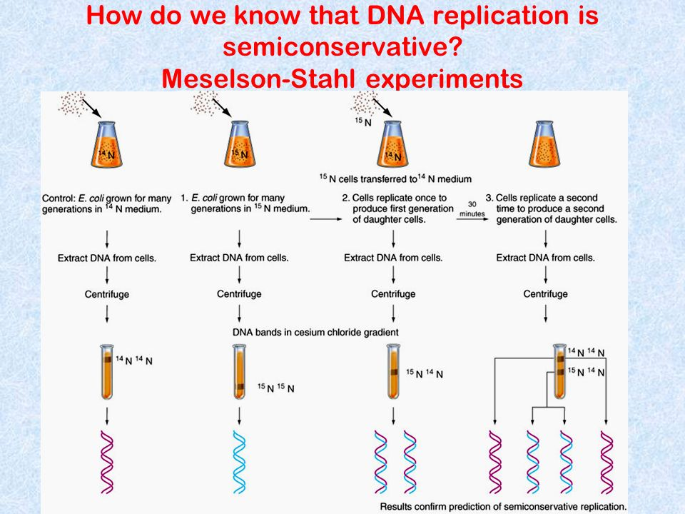 How do we know that DNA replication is semiconservative? Meselson-Stahl experiments