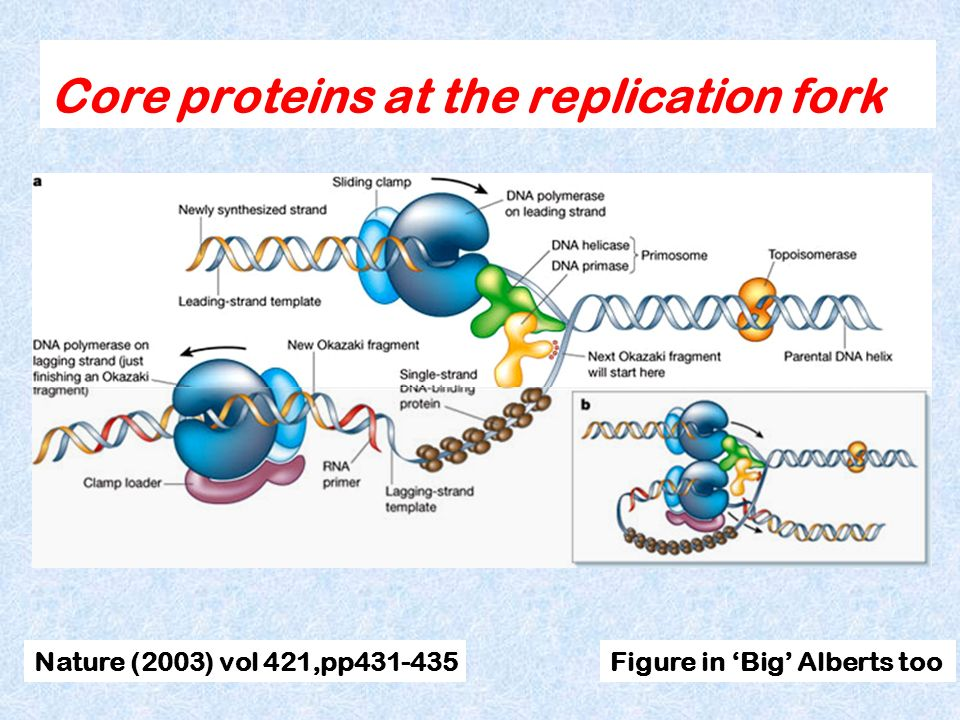 Core proteins at the replication fork Nature (2003) vol 421,pp431-435Figure in Big Alberts too