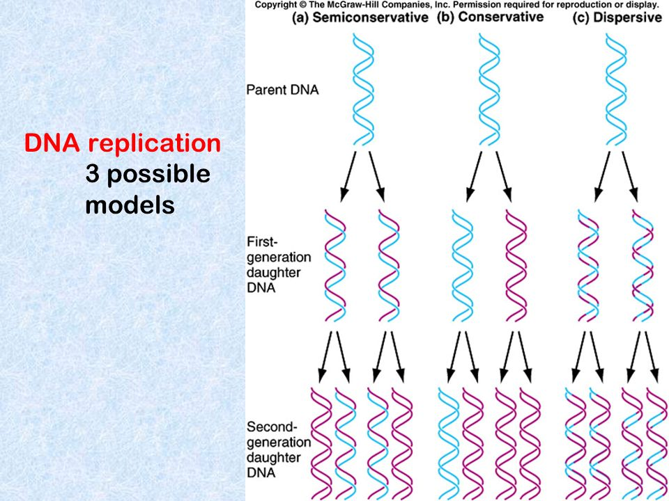 The mechanism of DNA replication Arthur Kornberg, a Nobel prize winner and other biochemists deduced steps of replication Initiation Proteins bind to DNA and open up double helix Prepare DNA for complementary base pairing Elongation Proteins connect the correct sequences of nucleotides into a continuous new strand of DNA Termination Proteins release the replication complex