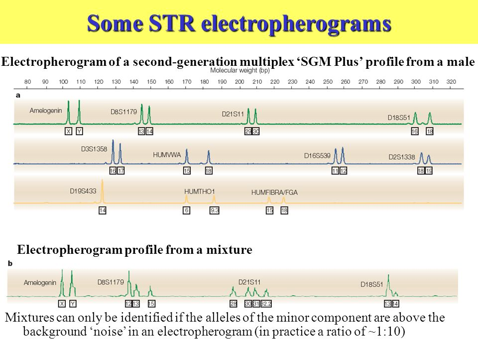 Some STR electropherograms Electropherogram profile from a mixture Mixtures can only be identified if the alleles of the minor component are above the background noise in an electropherogram (in practice a ratio of ~1:10) Electropherogram of a second-generation multiplex SGM Plus profile from a male