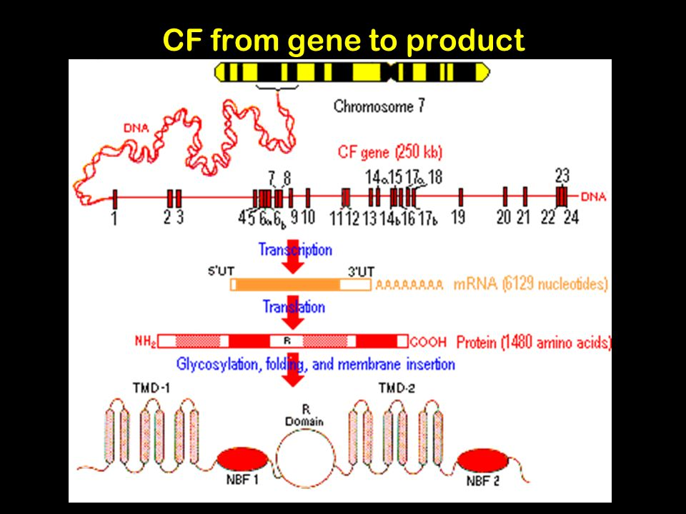 CF from gene to product