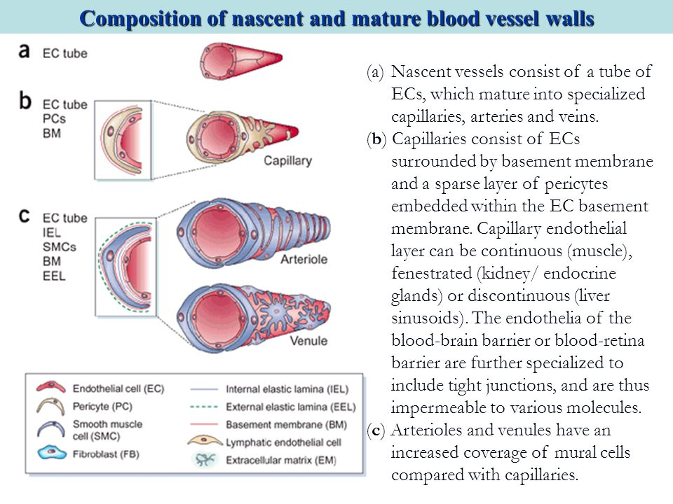 (a)Nascent vessels consist of a tube of ECs, which mature into specialized capillaries, arteries and veins. (b) Capillaries consist of ECs surrounded