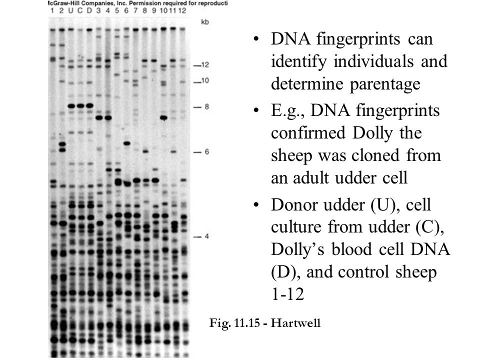 DNA fingerprints can identify individuals and determine parentage E.g., DNA fingerprints confirmed Dolly the sheep was cloned from an adult udder cell