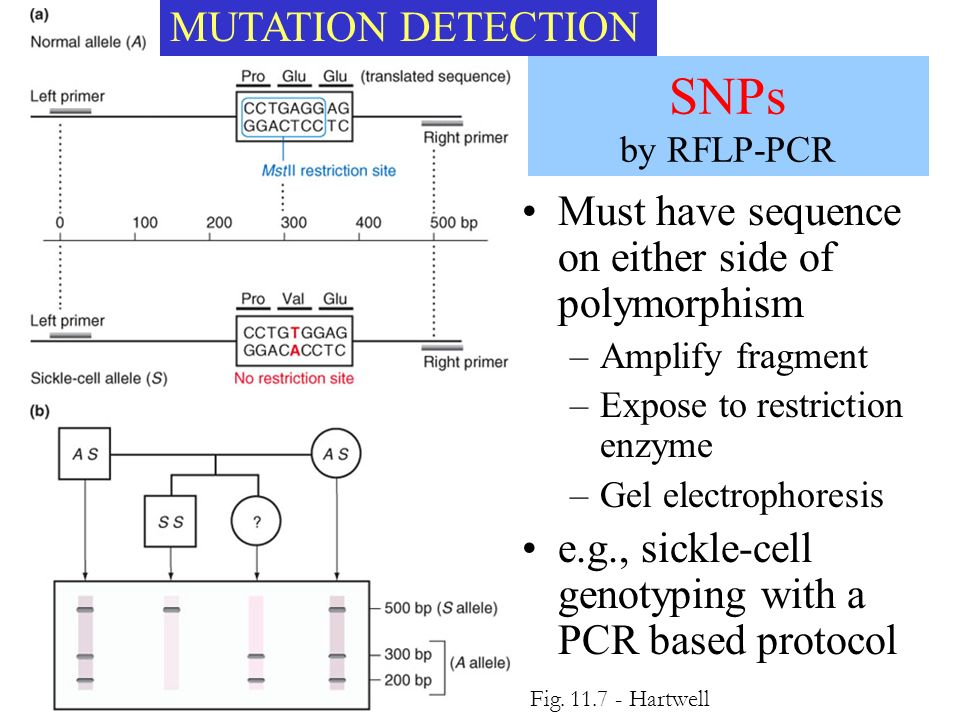 SNPs by RFLP-PCR Must have sequence on either side of polymorphism –Amplify fragment –Expose to restriction enzyme –Gel electrophoresis e.g., sickle-c