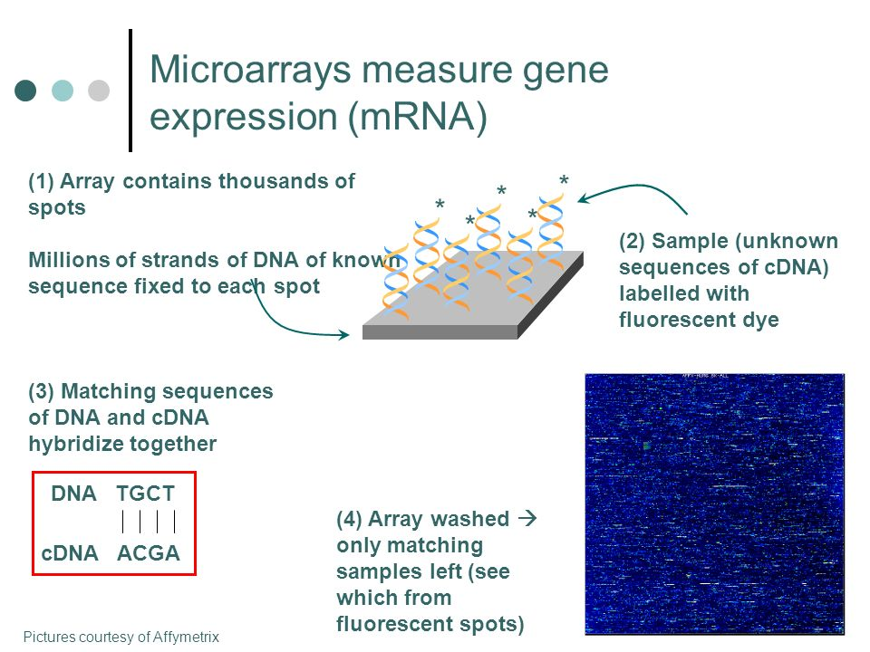 Microarray Data 3 SHR compared with 3 transgenic rats (with Cd36) 3 wildtype (normal) mice compared with 3 mice with Cd36 knocked out 12000 genes on each array Biological Question Find genes which are expressed differently between animals with and without Cd36.