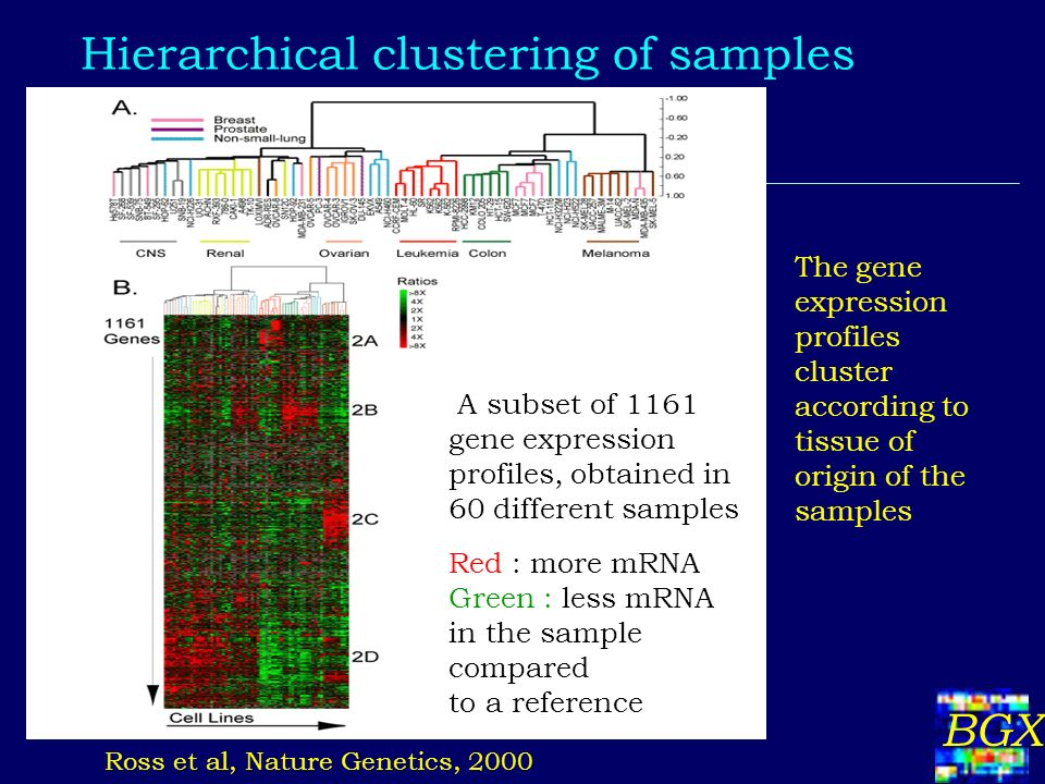 BGX Hierarchical clustering of samples A subset of 1161 gene expression profiles, obtained in 60 different samples Ross et al, Nature Genetics, 2000 The gene expression profiles cluster according to tissue of origin of the samples Red : more mRNA Green : less mRNA in the sample compared to a reference