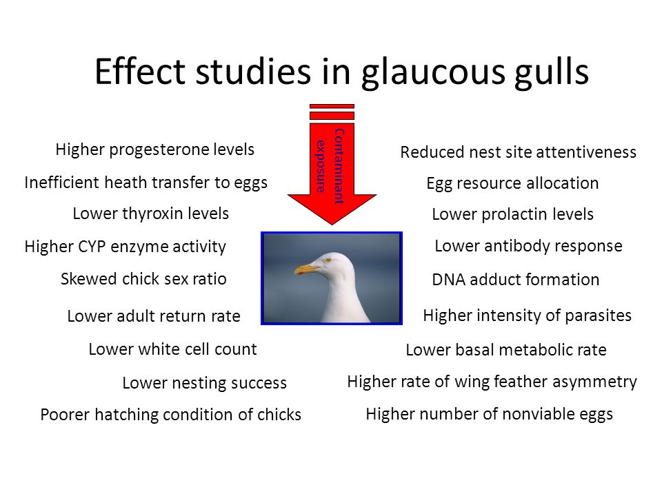 Effect studies in glaucous gulls Lower thyroxin levels Higher progesterone levels Lower prolactin levels Lower basal metabolic rate Lower adult return rate Lower white cell count Higher intensity of parasites DNA adduct formation Higher CYP enzyme activity Lower nesting success Higher rate of wing feather asymmetry Inefficient heath transfer to eggs Reduced nest site attentiveness Lower antibody response Higher number of nonviable eggs Poorer hatching condition of chicks Skewed chick sex ratio Egg resource allocation Contaminant exposure