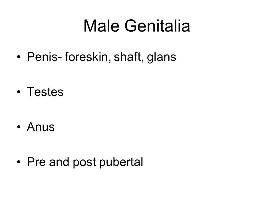 Male Genitalia Penis- foreskin, shaft, glans Testes Anus Pre and post pubertal