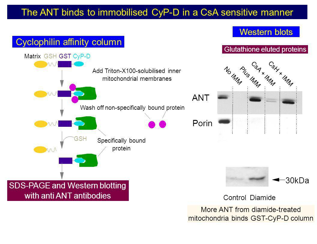MatrixGSHGSTCyP-D Add Triton-X100-solubilised inner mitochondrial membranes Wash off non-specifically bound protein GSH SDS-PAGE and Western blotting
