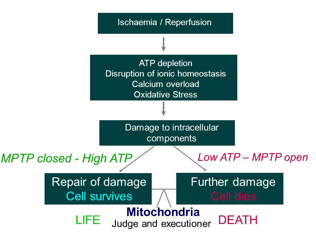 Damage to intracellular components Repair of damage Cell survives Further damage Cell dies MPTP closed - High ATP Low ATP – MPTP open Mitochondria LIF