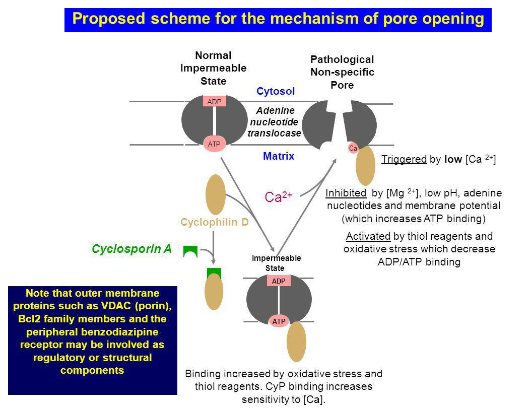 Proposed scheme for the mechanism of pore opening ATP ADP Cytosol Matrix Normal Impermeable State Adenine nucleotide translocase Note that outer membrane proteins such as VDAC (porin), Bcl2 family members and the peripheral benzodiazipine receptor may be involved as regulatory or structural components Cyclosporin A Activated by thiol reagents and oxidative stress which decrease ADP/ATP binding Inhibited by [Mg 2+ ], low pH, adenine nucleotides and membrane potential (which increases ATP binding) Ca Triggered by low [Ca 2+ ] Pathological Non-specific Pore Ca 2+ Binding increased by oxidative stress and thiol reagents.