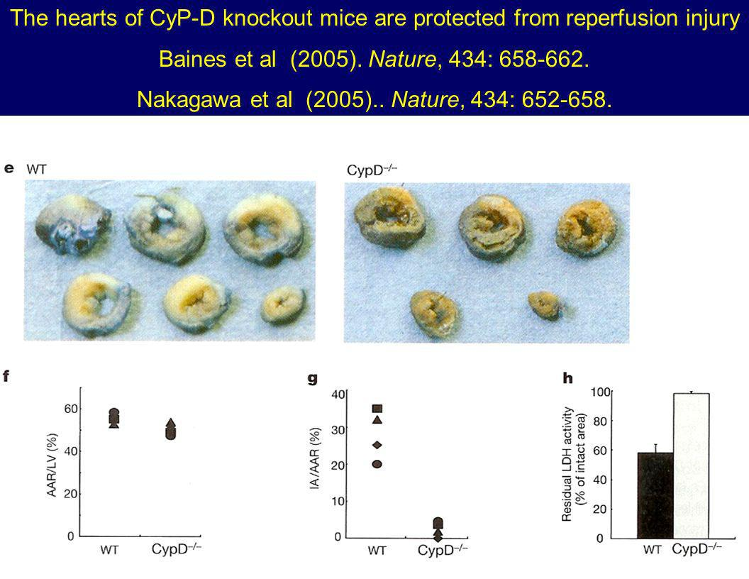 The hearts of CyP-D knockout mice are protected from reperfusion injury Baines et al (2005).
